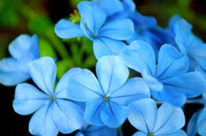 .fleurs bleues.