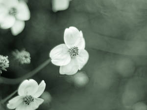 Ranunculus acris - HD Wallpaper