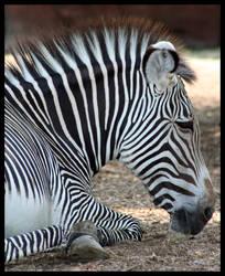 Zebra II by PunkatHeart