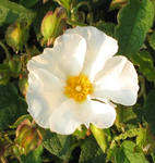 Rock rose for Tammara