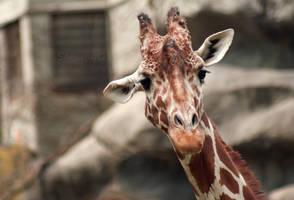 Giraffe by sammyc0530