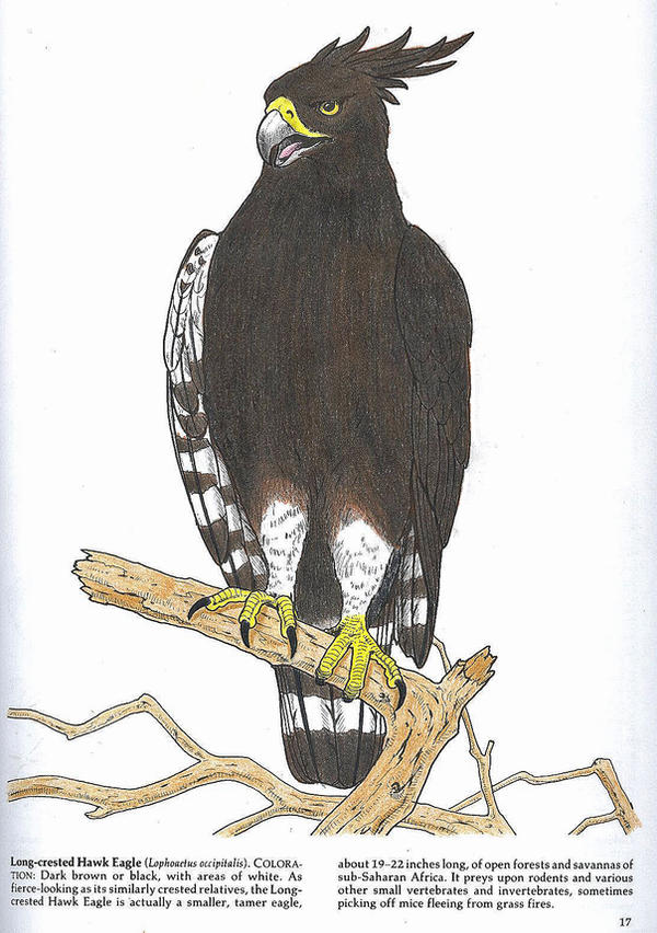 Long Crested Hawk Eagle By Fukuro Man On Deviantart