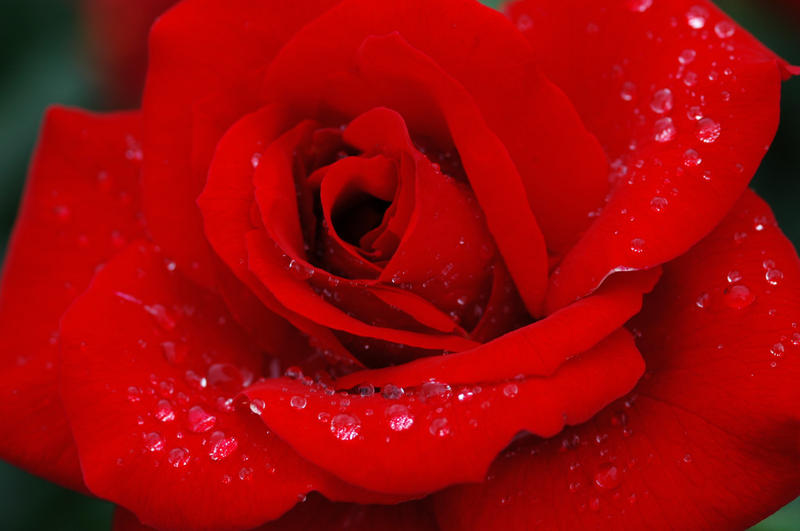 Dew On The Rose by SmileForGooper