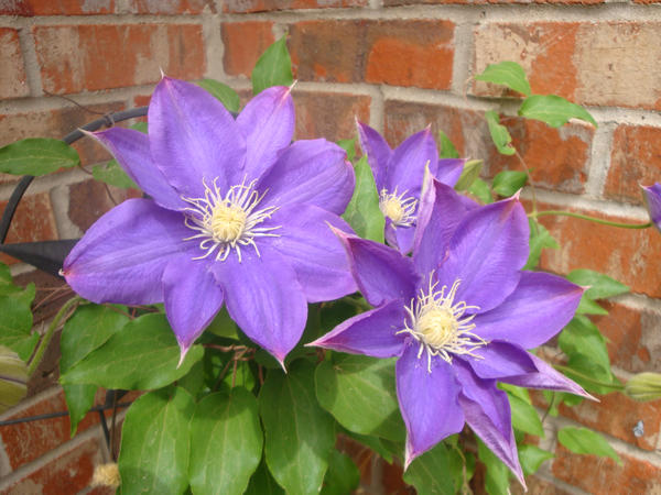Clematis by SmileForGooper