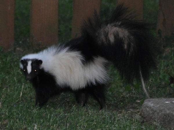 The Skunk by SmileForGooper