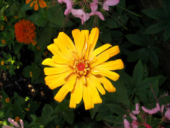 Zinnia by flugal