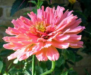 Zinnia 2 by flugal