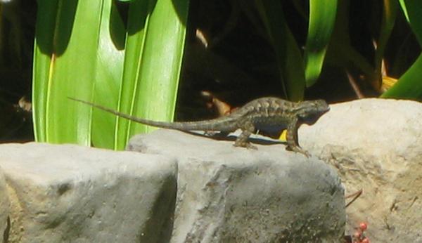Lizard Displaying by KCBL