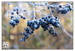 Blueberry Mufflins