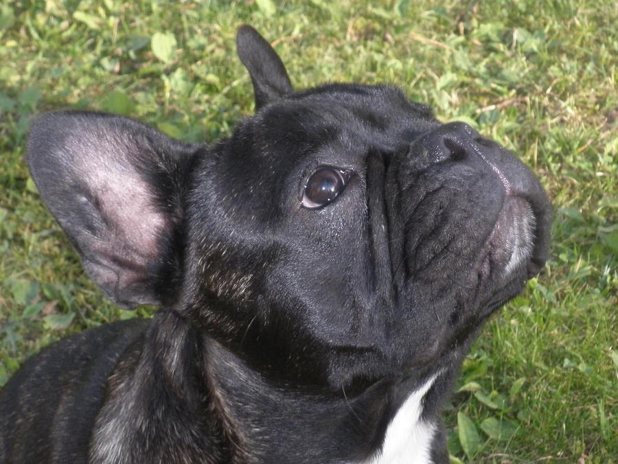 Daci, french bulldog by VWStiti