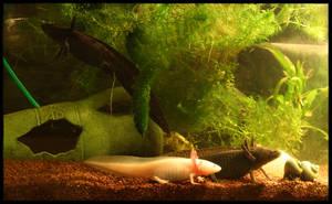 THREE axolotl