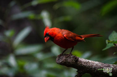 Male Northern Cardinal by 2753Productions