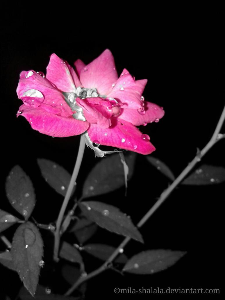 Splash - Pink Flower  by mila-shalala