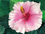 Hibiscus by CultivatingHonesty