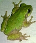 Tree Frog by AncientEchidna
