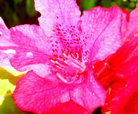 Pink sunshine lily