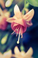 Fuchsia by dansch