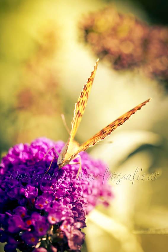 Butterfly by dansch