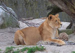 Lioness plays like cat