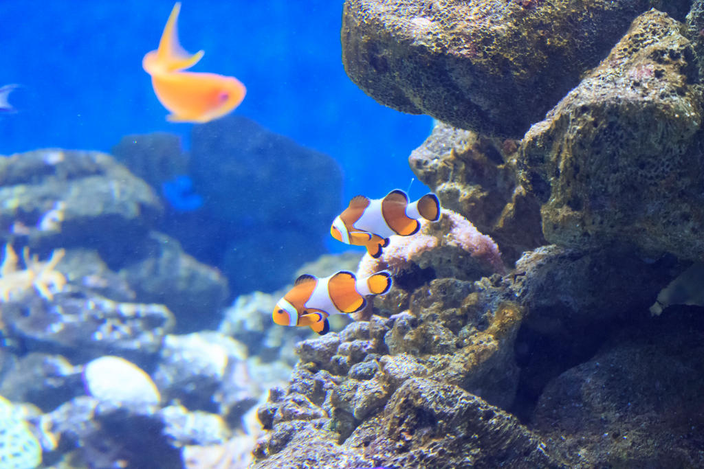 Clownfish by Mattlis