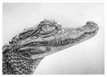 Caiman DRAWING by TrentRedmon