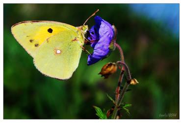 Yellow Butterfly on Blue Flower