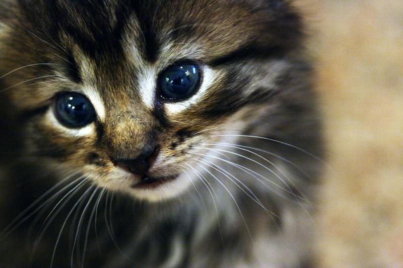 Kitten by LilJanksta