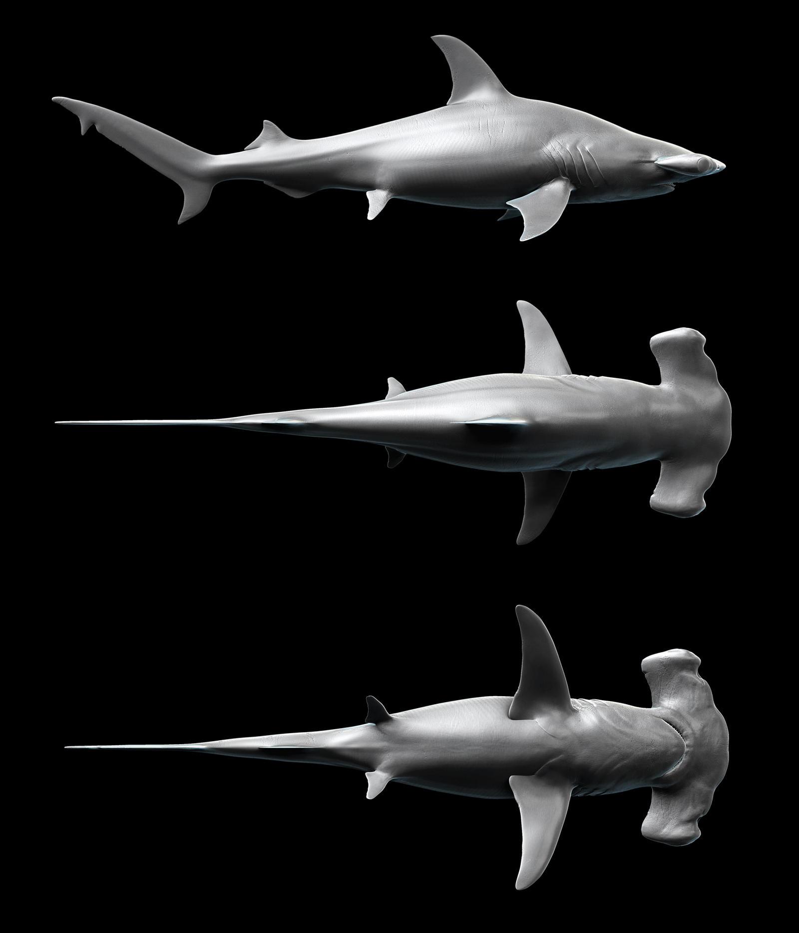 The Shark Gallery - Shark Facts and Information ... Hammerhead Shark ...