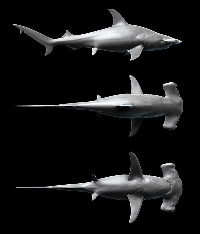 Outstanding Shark Anatomy Model Motif - Human Anatomy Images ...