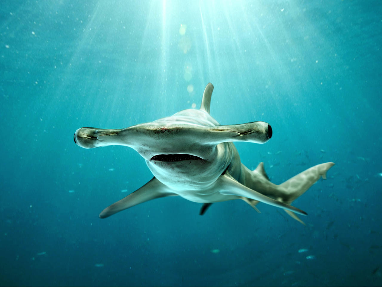 Hammerhead shark - photo#14