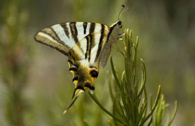 Scarce Swallowtail Butterfly by jackbirkby
