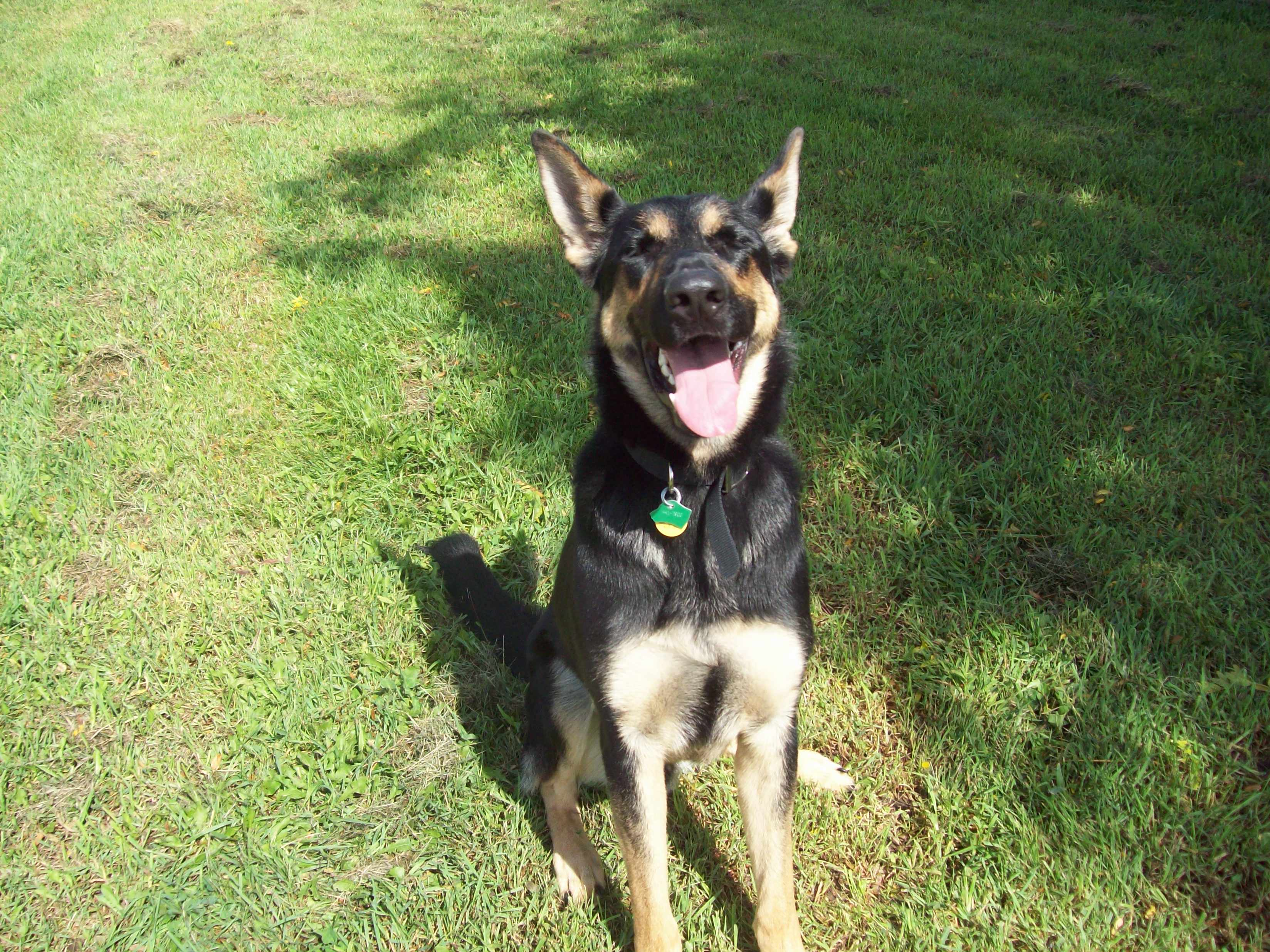 Tan And Black German Shepherd Images & Pictures - Becuo
