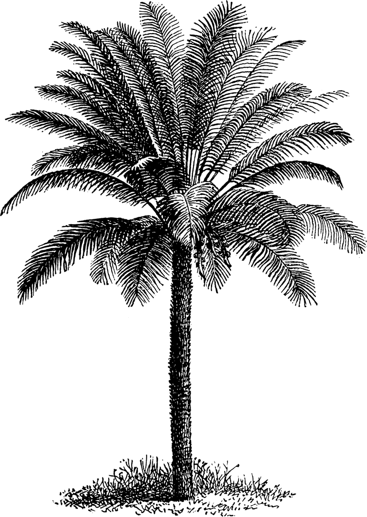 Line Drawing Palm Tree : Palm tree line art stock by ihcoyc on deviantart