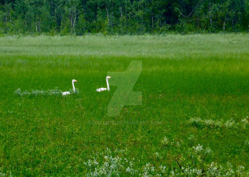 Devines le nom de l'oiseau (Europe) Pair_of_adult_whooper_swans__cygnus_cygnus__by_halletz-dblhffc