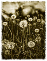 Field of a thousand wishes by lorrainemd