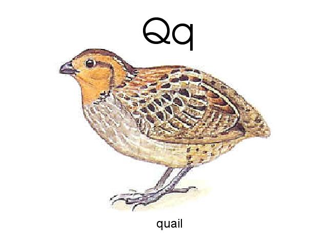 Q Is For Quail Q is for quail by Bria...