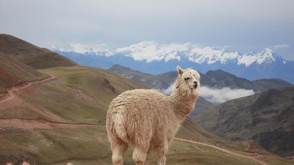 Alpaca en los andes bolivianos by Boristofeles