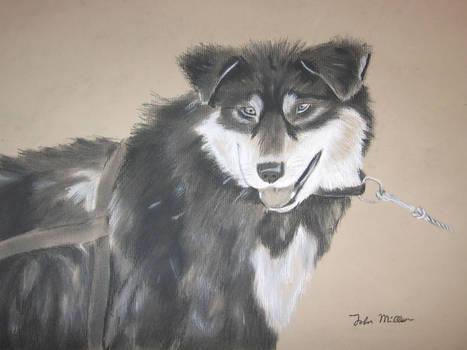 Sled dog -charcoal-