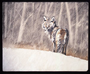 Coyote Winter by RSF24