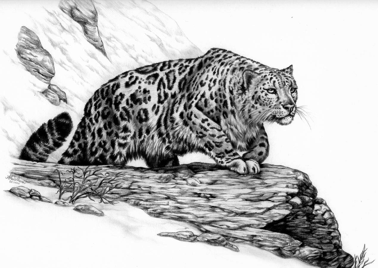 Leopard Pencil Drawings Snow Leopard by AthenaTT