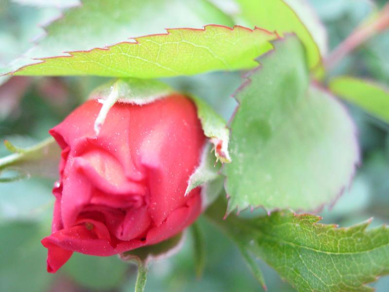 Rose for xXEstrelasXx