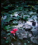 THE BAD WATERLILY