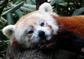 Wake Up, Red Panda by Rhododendron