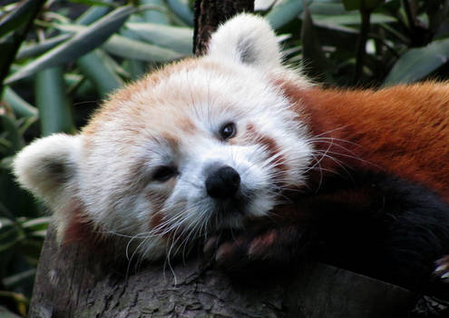 Wake Up, Red Panda