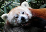Wake Up, Red Panda