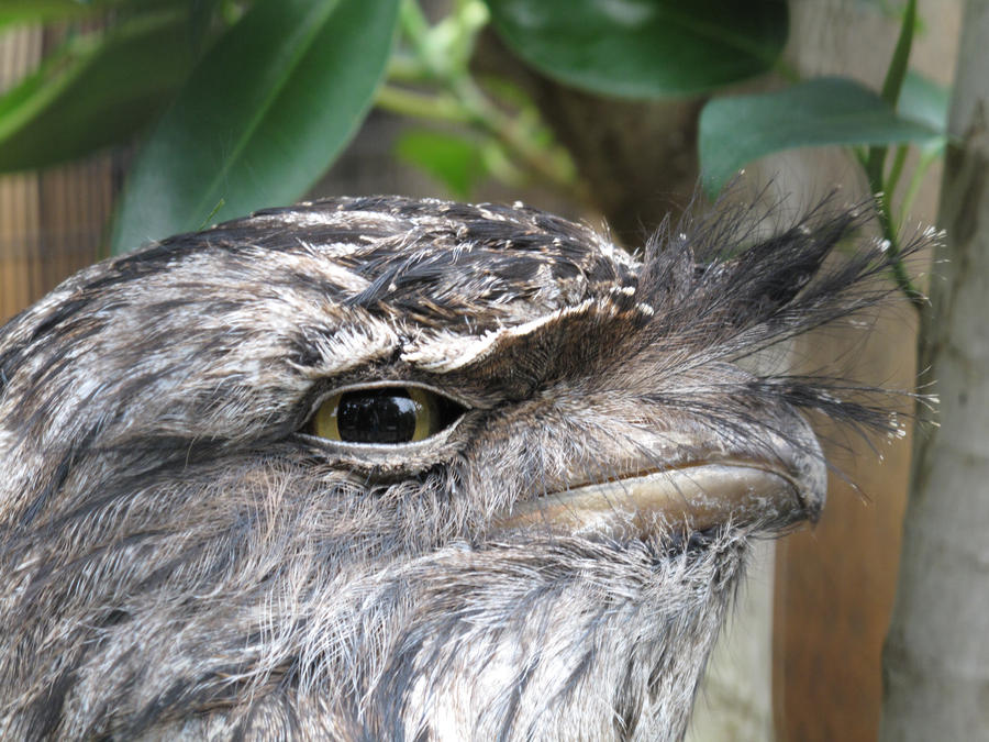Eye of the Frogmouth by X5-442