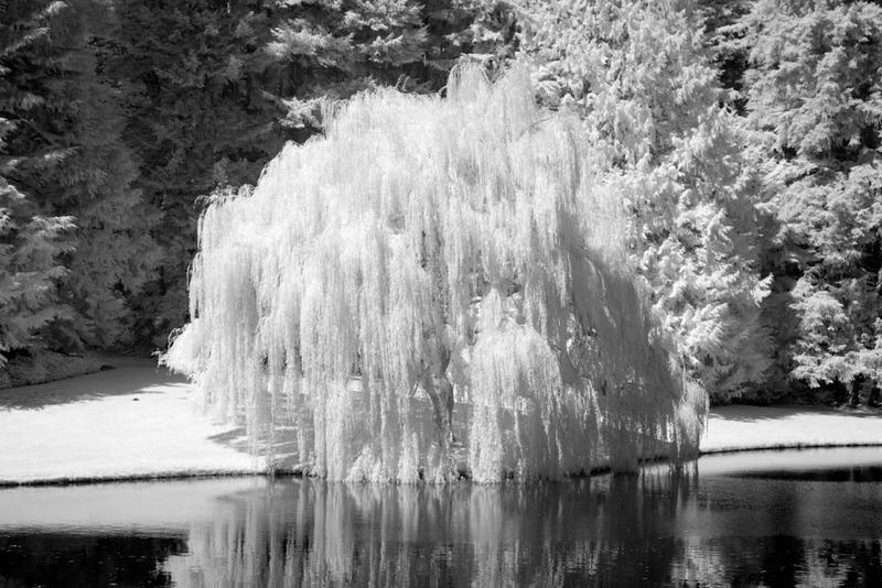 Willow Tree 1 by Dustspots