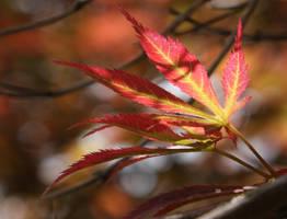 Varigated Japanese Maple by Dustspots
