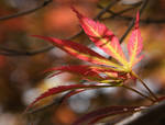 Varigated Japanese Maple