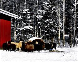 A Sunny Winterda On The Sheep Farm In Arhipelago